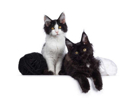 Cute black and white Maine Coon cat kittens sitting  laying beside eachother and knots of wool. Looking at lens with curious look. Isolated on white background. Stock fotó