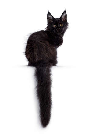 Cute solid black Maine Coon cat kitten, sitting backwards. Looking over shoulder to camera with golden eyes. Isolated on white background. Long tail hanging down from edge.