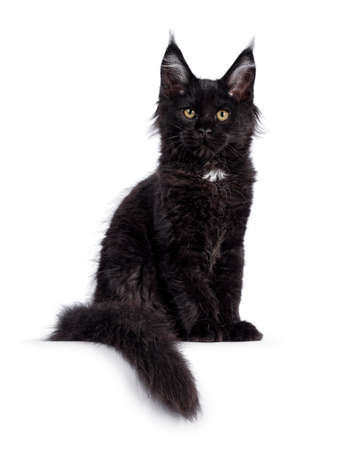 Cute solid black Maine Coon cat kitten, sitting side ways facing front. Looking straight ahead to camera with golden eyes. Isolated on white background. Long tail hanging over edge. Stock fotó