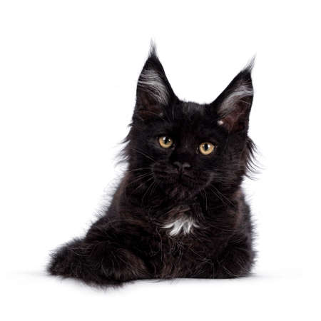 Cute solid black Maine Coon cat kitten, laying down facing front. Looking straight ahead to camera with golden eyes. Isolated on white background.