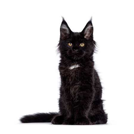 Cute solid black Maine Coon cat kitten, sitting  facing front. Looking straight ahead to camera with golden eyes. Isolated on white background. Stock fotó