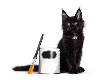 Cute solid black Maine Coon cat kitten, sitting beside paint can and brush. Looking beside camera with golden eyes. Isolated on white background.