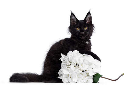 Cute solid black Maine Coon cat kitten, sitting side ways behind white fake hortensia flower. Looking straight ahead to camera with golden eyes. Isolated on white background.