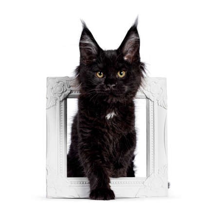 Cute solid black Maine Coon cat kitten, standing through white photo frame. Looking straight ahead to camera with golden eyes. Isolated on white background.