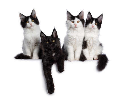 Perfect row of 4 black and white Maine Coon cat kittens, sitting  laying beside each other. All looking straight at camera with yellow  golden eyes. Isolated on white background. Stock fotó