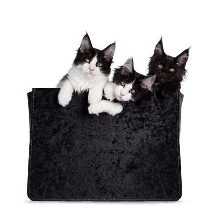 Group of 3 black and white Maine Coon cat kittens, sitting  hanging in black velvet bag. All looking straight at camera with yellow  golden eyes. Isolated on white background. Stock fotó