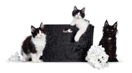 Crew of 4 black and white Maine Coon cat kittens, sitting in and beside a black velvet bag and fake hortensia flower. All looking straight at camera with yellow  golden eyes. Isolated on white background. Stock fotó