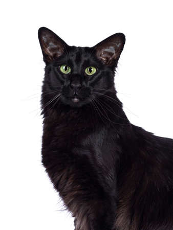Head shot of pretty young adult solid black Oriental Longhair cat