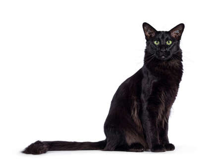 Pretty young adult solid black Oriental Longhair cat, sitting side ways. Looking at camera with mesmerizing green eyes. Tail stretched behind body. Stock fotó
