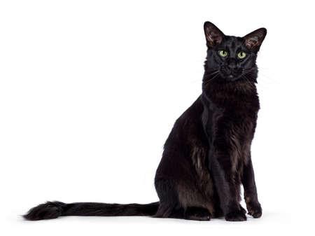 Mooie jonge volwassen effen zwarte Oosterse langharige kat, zijwaarts liggend. Camera kijken met betoverende groene ogen. Staart gestrekt achter het lichaam. Een poot opgeheven. Stockfoto