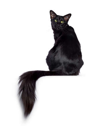 Pretty young adult solid black Oriental Longhair cat, sitting backwards. Looking over shoulder beside camera with mesmerizing green eyes. Tail hanging over edge. Stock fotó