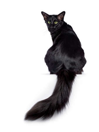 Pretty young adult solid black Oriental Longhair cat, sitting backwards. Looking over shoulder straight at camera with mesmerizing green eyes. Tail hanging down from edge.
