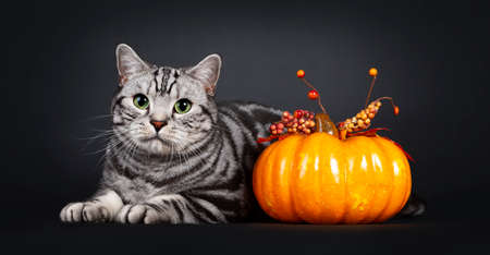 Handsome silver tabby British Shorthair cat, laying down side ways beside orange pumpkin. Looking at lens with mesmerizing green eyes. Isolated on black background.