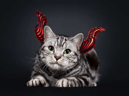 Handsome silver tabby British Shorthair cat, laying down facing front wearing red devil horn head piece. Looking at lens with mesmerizing green eyes. Isolated on black background. Stock fotó