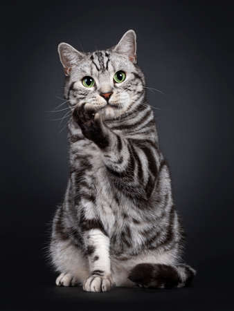 Handsome silver tabby British Shorthair cat, sitting up facing front. Looking at lens with mesmerizing green eyes. Isolated on black background. One paw up like saying pssst or telling a secret.