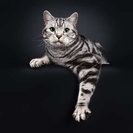 Handsome silver tabby British Shorthair cat, laying down facing front. Looking at lens with mesmerizing green eyes. Isolated on black background. One paw hanging relaxed down from edge. Stock fotó