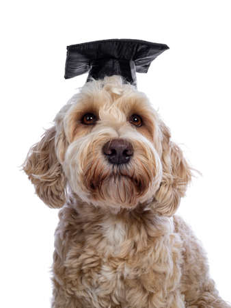 Head shot of sweet young adult female silky Labradoodle wearing black graduation hat, looking beside camera with brown eyes. Isolated on white background. Mouth closed.