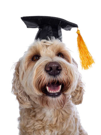 Head shot of sweet young adult female silky Labradoodle wearing black graduation hat, looking cross eyed to swinging yellow tassel with brown eyes. Isolated on white background. Mouth open.