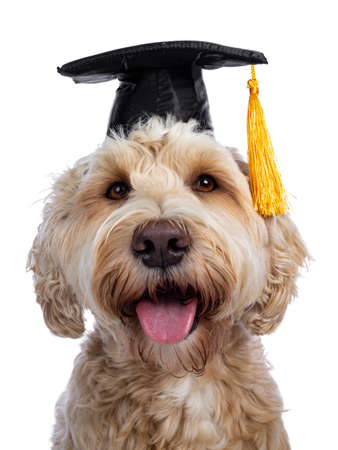 Head shot of sweet young adult female silky Labradoodle wearing black graduation hat, looking straight at camera with brown eyes. Isolated on white background. Mouth open showing pink tongue. Stock fotó