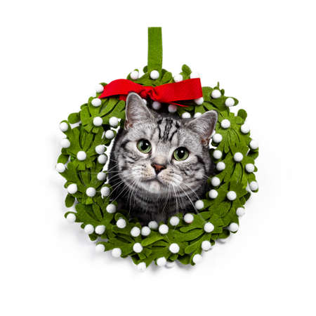 Head shot of handsome silver tabby British Shorthair cat, sitting with head through green mistletoe wreath. Looking straight at lens with mesmerizing green eyes. Isolated on white background. Stock fotó