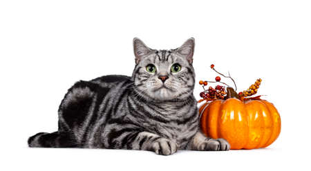 Handsome silver tabby British Shorthair cat, laying down side ways beside orange pumpkin. Looking at lens with mesmerizing green eyes. Isolated on white background. Stock fotó