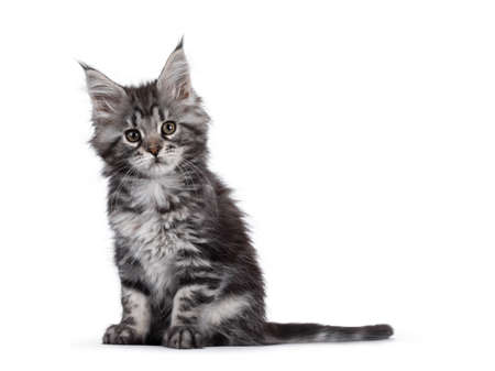Expressive silver tabby Maine Coon cat kitten, sitting side ways. Looking at lens with attitude. Isolated on white background. Imagens