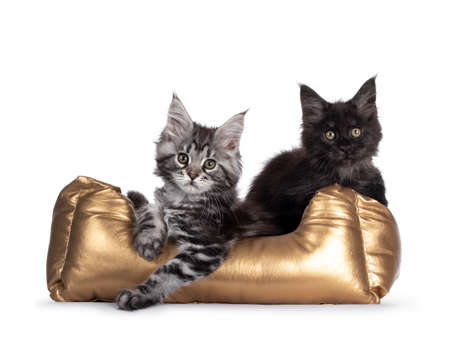 Silver tabby and black smoke Maine Coon kittens sitting together in golden basket. Looking towards camera. Isolated on white background.