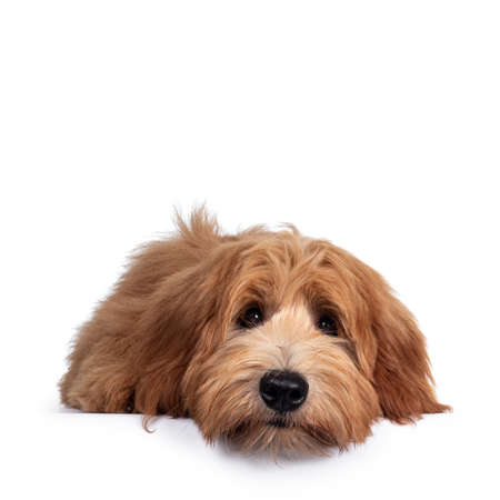 Adorable red / abricot Labradoodle dog puppy, layingflat face down facing front, looking towards camera with shiny dark eyes. Isolated on white background. Mouth closed, head on floor.