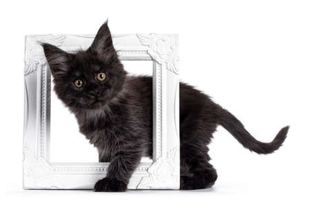 Majestic black smoke Maine Coon kitten, standing side ways through white photo frame. Looking at camera with shiney brown golden eyes. Isolated on white background.