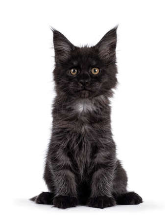 Majestic black smoke Maine Coon kitten, sitting up facing front. Looking at camera with shiney brown golden eyes. Isolated on white background. Imagens