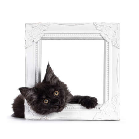 Majestic black smoke Maine Coon kitten, laying with head through white photo frame. Looking at camera with shiney brown golden eyes. Isolated on white background.