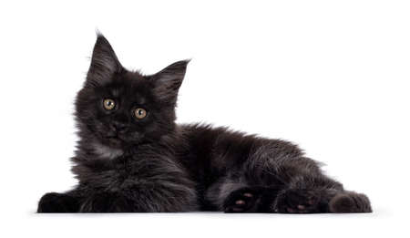 Majestic black smoke Maine Coon kitten, laying down side ways. Looking at camera with shiney brown golden eyes. Isolated on white background. Imagens