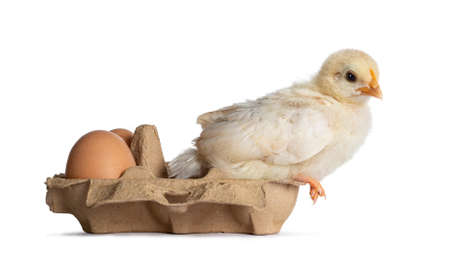 Cute yellow baby chick, sitting side ways on egg box with brown eggs. Looking towards camera. Isolated on white background. Imagens