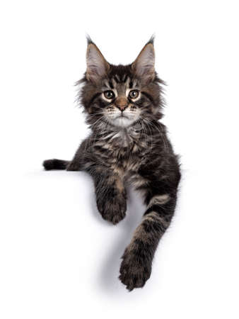 Cute classic black tabby Maine Coon cat kitten, laying down facing front with front paws relaxed over edge. Looking curious towards camera. Isolated on white background.