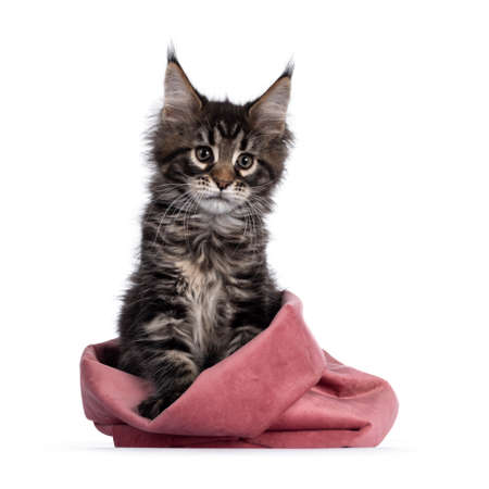 Cute classic black tabby Maine Coon cat kitten, sitting facing front in pink velvet bag. Looking beside camera. Isolated on white background. Imagens