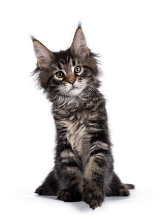 Cute classic black tabby Maine Coon cat kitten, sitting facing front. Looking curious towards camera. Isolated on white background. Front paw playful in air. Imagens