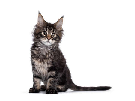 Cute classic black tabby Maine Coon cat kitten, sitting side ways. Looking beside camera. Isolated on white background. Imagens
