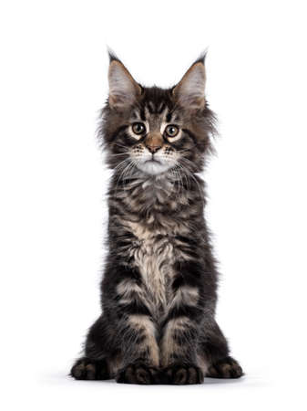 Cute classic black tabby Maine Coon cat kitten, sitting facing front. Looking curious towards camera. Isolated on white background.