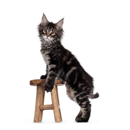 Cute classic black tabby Maine Coon cat kitten, standing side ways with front paws on little wooden stool. Looking straight to camera. Isolated on white background. Imagens