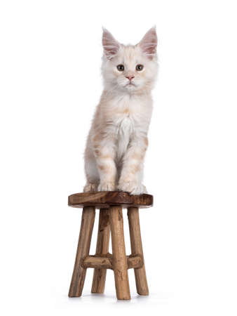 Sweet red shaded Maine Coon cat kitten, sitting on litlle wooden stool. Looking straight at camera with droopy eyes. Isolated on white background.