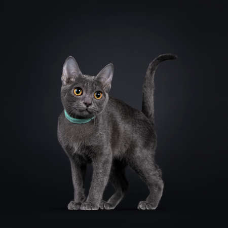 Cute Korat cat kitten, standing side ways wearing green collar around neck. Looking to the side waith bright orange eyes. Isolated on black background.
