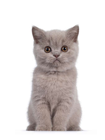 Cute lilac British Shorthair cat kitten, sitting facing front. Looking towards camera with round brown eyes. isolated on white background.