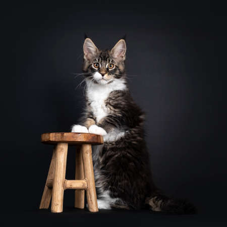 Classic black tabby Maine Coon cat kitten, sitting side ways with front paws on little wooden stool. Looking towards camera with orange eyes. Isolated on black background.