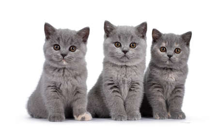 Row of five blue and blue tortie British Shorthair cat kittens, sitting beside each other. All facing camera and looking at lens with round brown eyes. Isolated on white background. Banco de Imagens