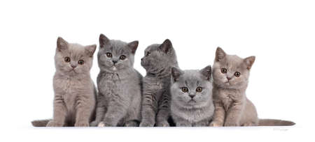 Row of five lilac and blue tortie British Shorthair cat kittens, sitting beside each other. All facing camera and looking at lens with round brown eyes. Isolated on white background.