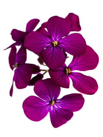 Top view of pink / purple Lunaria Annua blooming branch. Isolated on white background. Banco de Imagens