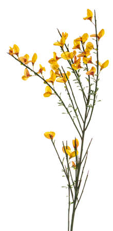Side view of yellow blooming Broom branch. Isolated on white background.