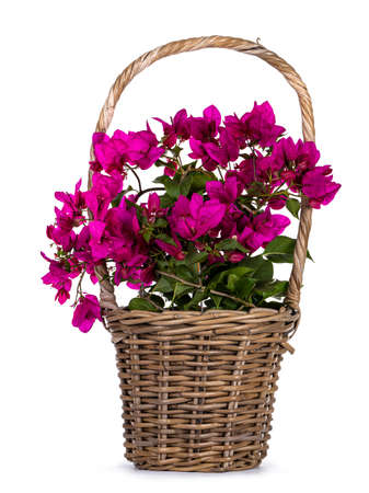Brown basket with blooming pink Bougainvillea plant, isolated on white background. Stock Photo