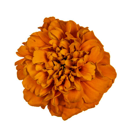 Top view of single blooming Tagetes Marigold flower, isolated on white background. Banco de Imagens