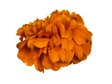 Side view of single blooming Tagetes Marigold flower, isolated on white background.